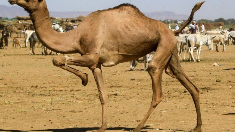 cammelli uccisi in australia incendi