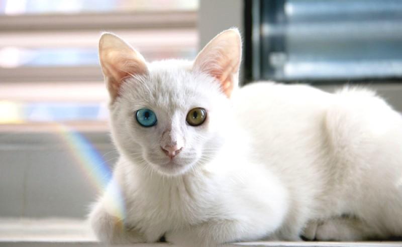 Foto Cos'è un gatto albino? Avrà problemi di salute?