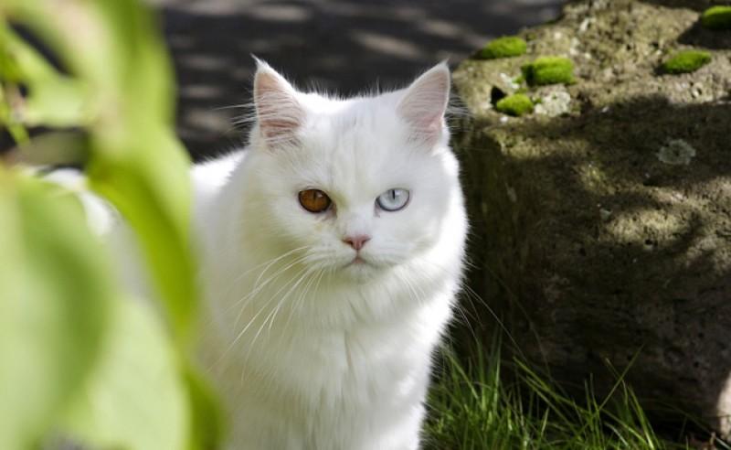 gatto albino