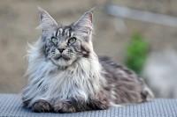 Foto Le 10 migliori razze di gatti a pelo lungo