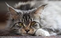 gatto Maine Coon