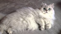 gatto Persiano Chinchillà