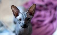 Foto 3 razze di gatti senza peli da scoprire!