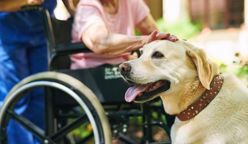 Foto Come vengono addestrati i cani guida per i disabili?
