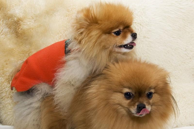 accoppiamento consanguineità cane