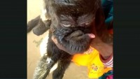 india capra dal volto umano