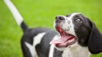 Foto Displasia renale nel Cane: cause, sintomi e cure