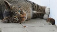 gatto mangia topo