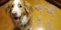 Foto La faccia colpevole che fanno i cani è reale?