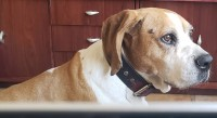 Foto Tumore venereo trasmissibile nei cani