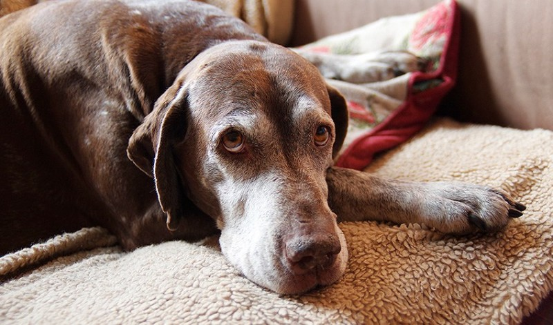 Foto Perché i cani mangiano il loro vomito?