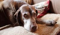 Foto Perché i cani mangiano il loro vomito