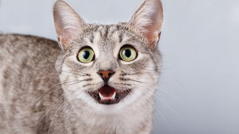 Foto Perché ci sono gatti che non miagolano?