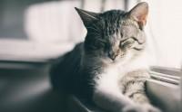 gatto non miagola