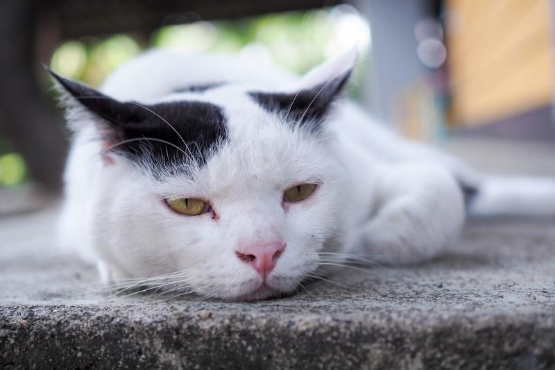 emicrania gatto