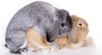 Foto Come si accoppiano i conigli?