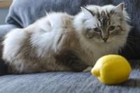 Foto I gatti possono mangiare limoni?