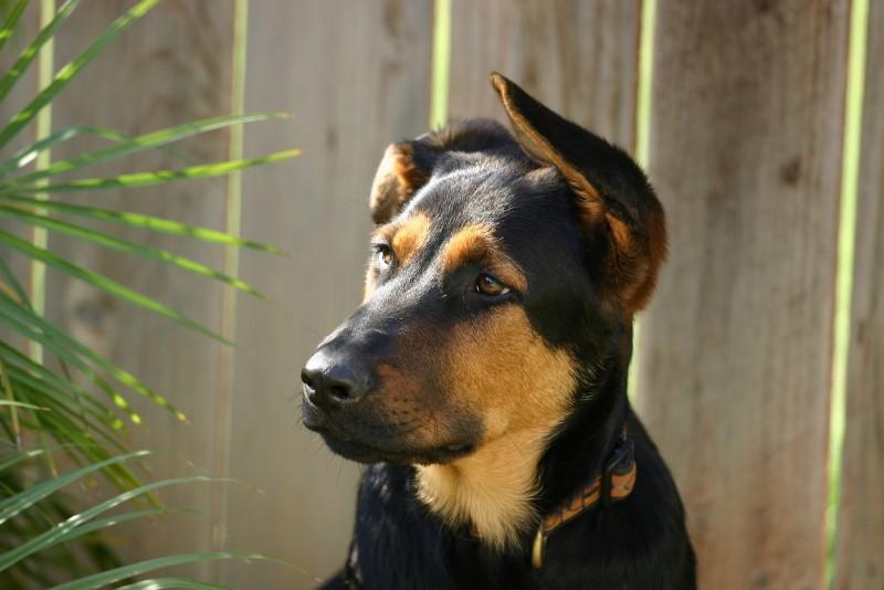 Foto Il mio cane ha un orecchio alzato e l'altro no, cosa faccio?