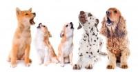 Foto Perchè i cani ululano quando sentono una sirena?