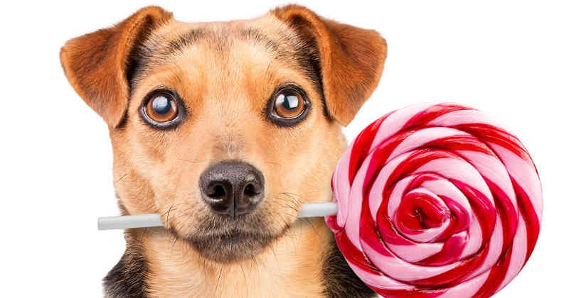 Foto Quanto sono pericolosi lo zucchero e i dolci per i cani?