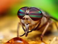 occhi della mosca