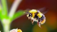 Foto Perchè le api pungono?