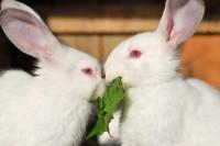 Foto Perché alcuni conigli hanno gli occhi rossi?