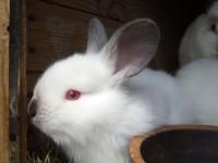 conigli con occhi rossi e pelo bianco