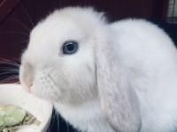 coniglio con occhi blu