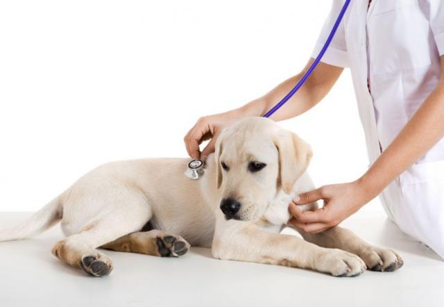 Foto Epatite Virale dei Cani e come curarla