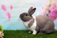 Foto Perchè il mio coniglio strofina il mento ovunque?