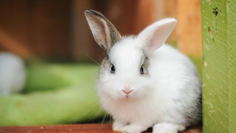 Foto A cosa servono i baffi al coniglio?