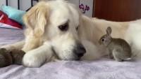 labrador e coniglio amici