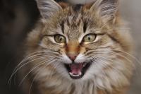 Foto Il Gatto miagola troppo: le cause