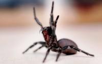 ragno di sidney velenoso