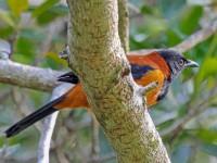 Pitohuí uccello velenoso