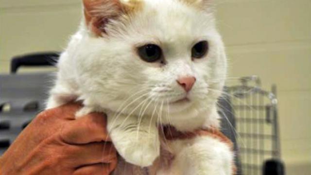 Foto Cancro nel Gatto: sintomi e cure