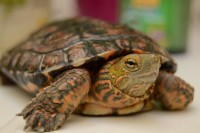ipovitaminosi tartaruga