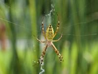 ragno ragnatela