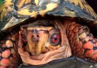 occhi rossi tartaruga