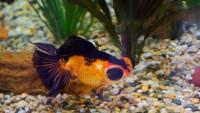 macchie scure pesce rosso