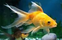 pesce occhi gonfi popeye