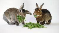 coniglio mangia rucola