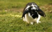 coniglio nano velocita