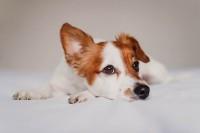 prurito recchio cane