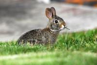coniglio mangia erba