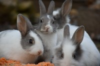 malattia cuore conigli