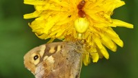 ragno granchio giallo
