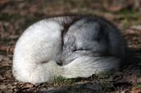 volpe artica