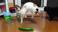 cetriolo spaventa il gatto